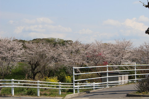 岡崎市の桜並木たくさんありますね。配達休憩中に撮影しました。