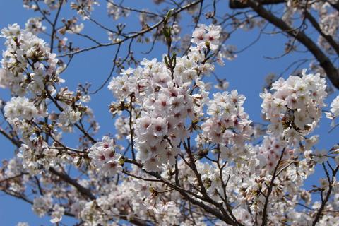 東公園の桜。岡崎市の大きな公園の1つです。