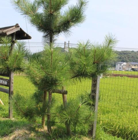 祝! 藤川の松並木 県指定文化財に指定されました。旧東海道53次 藤川宿にお立ち寄りの際、是非どうぞ